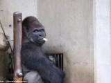 """Shabani, il bellissimo """"gorilla rubacuori"""": le donne fanno la fila allo zoo per veder"""