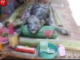 Un bufalo con la pelle di coccodrillo e la testa di un rettile: ecco un animale mai visto